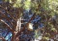 Ciudad Real: Medio Ambiente lleva a cabo el programa  de control de la procesionaria del pino