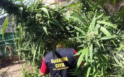 La Guardia Civil incauta 7.300 plantas de marihuana en Ciudad Real y Córdoba