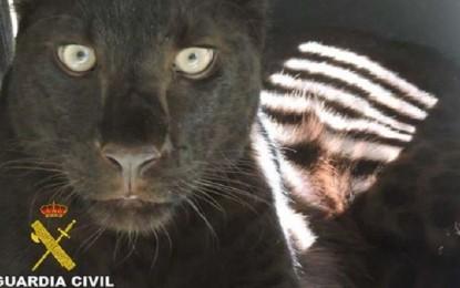 La Guardia Civil interviene una pantera negra, patas de elefante y un puma en el domicilio de uno de los detenidos