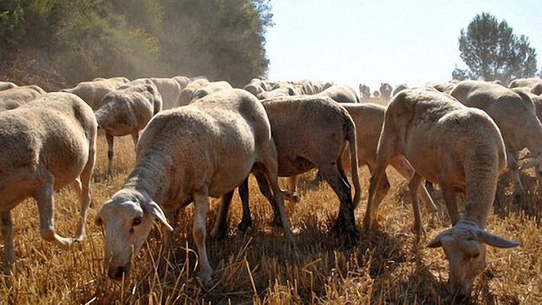 Castilla La Mancha apuesta por la ganadería