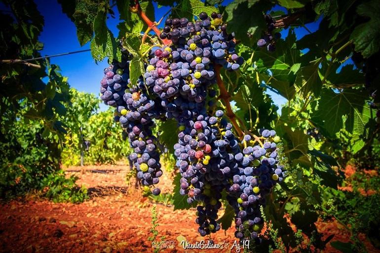 ASAJA Ciudad Real contra los precios ruinosos de la uva que cubren los costes de producción a costa de los beneficios de la industria
