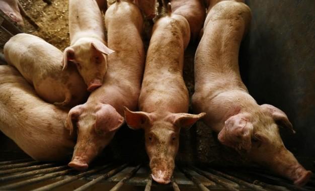 Daimiel se moviliza para impedir la instalación de una macrogranja porcina en el término